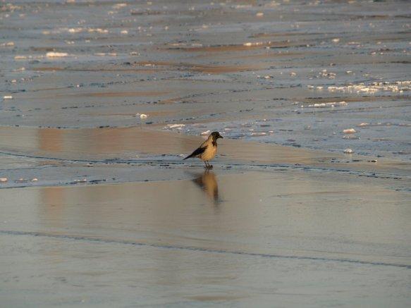 Krähe auf Eis
